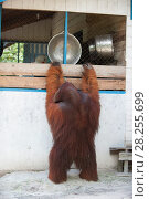 Купить «Bornean orangutan (Pongo pygmaeus) dominant male trying to get into park staff kitchen, Tanjung Puting National Park, Indonesia.», фото № 28255699, снято 16 июля 2018 г. (c) Nature Picture Library / Фотобанк Лори