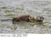Купить «Sea otter (Enhydra lutris) mother and pup, aged 2 weeks,Monterey, California, USA.», фото № 28255707, снято 28 мая 2020 г. (c) Nature Picture Library / Фотобанк Лори