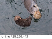 Купить «Sea otter (Enhydra lutris) mother with sleeping newborn pup (aged 3 days) Monterey, California, USA.», фото № 28256443, снято 21 сентября 2019 г. (c) Nature Picture Library / Фотобанк Лори