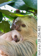 Купить «Hoffmann's Two-toed sloth (Choloepus hoffmanni) mother and baby, aged 2 months, in tree, Costa Rica. Rescued and released by Aviarios Sloth Sanctuary.», фото № 28256463, снято 21 июля 2018 г. (c) Nature Picture Library / Фотобанк Лори