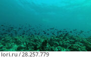 Massive school of Red-toothed triggerfish (Odonus niger) swim over coral reef in blue water, Indian Ocean, Maldives. Стоковое видео, видеограф Некрасов Андрей / Фотобанк Лори