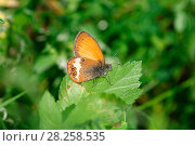 Купить «Pearly heath butterfly (Coenonympha arcania). Italy, July.», фото № 28258535, снято 13 декабря 2018 г. (c) Nature Picture Library / Фотобанк Лори