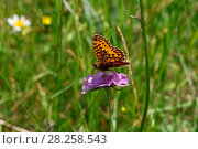 Купить «Titania's fritillary (Clossiana titania) nectaring on flower, Italy, July.», фото № 28258543, снято 13 декабря 2018 г. (c) Nature Picture Library / Фотобанк Лори