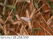Купить «Crimson speckled footman moth (Utethesia lortrix) Gambia, Africa», фото № 28258559, снято 25 мая 2018 г. (c) Nature Picture Library / Фотобанк Лори