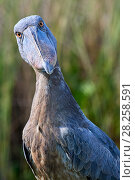 Купить «Whale headed / Shoebill (Balaeniceps rex) portrait. Swamps of Mabamba, Lake Victoria, Uganda.», фото № 28258591, снято 18 июня 2019 г. (c) Nature Picture Library / Фотобанк Лори
