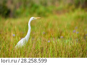 Купить «Great egret (Ardea alba) in the swamps of Mabamba, lake Victoria, Uganda.», фото № 28258599, снято 17 февраля 2020 г. (c) Nature Picture Library / Фотобанк Лори