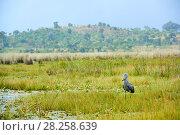 Купить «Shoebill stork (Balaeniceps rex) in the swamps of Mabamba, Lake Victoria, Uganda», фото № 28258639, снято 14 июля 2020 г. (c) Nature Picture Library / Фотобанк Лори