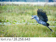 Купить «Shoebill stork (Balaeniceps rex) taking off in the swamps of Mabamba, Lake Victoria, Uganda», фото № 28258643, снято 27 июня 2019 г. (c) Nature Picture Library / Фотобанк Лори