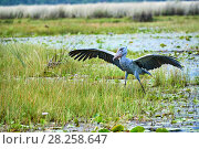 Купить «Shoebill stork (Balaeniceps rex) with wings raised in the swamps of Mabamba, Lake Victoria, Uganda», фото № 28258647, снято 14 июля 2020 г. (c) Nature Picture Library / Фотобанк Лори
