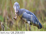 Купить «Shoebill stork (Balaeniceps rex) feeding on a Spotted African lungfish (Protopterus dolloi) in the swamps of Mabamba, lake Victoria, Uganda», фото № 28258651, снято 27 июня 2019 г. (c) Nature Picture Library / Фотобанк Лори