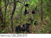 Купить «Eastern chimpanzee (Pan troglodytes schweinfurtheii) group resting and playing. Gombe National Park, Tanzania. October 2012.», фото № 28259511, снято 28 мая 2020 г. (c) Nature Picture Library / Фотобанк Лори