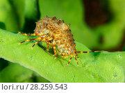 Купить «Amphipods (Pallasea cancellus) on Demosponge (Lubomirskia baicalensis), both are endemic to Lake Baikal, Siberia, Russia», фото № 28259543, снято 24 мая 2018 г. (c) Nature Picture Library / Фотобанк Лори
