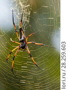 Купить «Palm spider (Nephila inaurata) in its web, female, Praslin Island, Republic of Seychelles», фото № 28259603, снято 26 сентября 2018 г. (c) Nature Picture Library / Фотобанк Лори