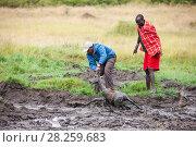 Купить «Safari driver and Masai man rescuing an Impala (Aepyceros melampus) stuck in mud, Masai Mara, Kenya.», фото № 28259683, снято 21 февраля 2020 г. (c) Nature Picture Library / Фотобанк Лори