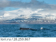 Купить «Sperm whale (Physeter macrocephalus) off the Snaefellsnes Peninsula, Iceland. April.», фото № 28259867, снято 19 августа 2018 г. (c) Nature Picture Library / Фотобанк Лори