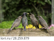 Купить «RF - Starling (Sturnus vulgaris) feeding fledgling chicks  in urban garden. Greater Manchester, UK. May.», фото № 28259879, снято 16 августа 2018 г. (c) Nature Picture Library / Фотобанк Лори