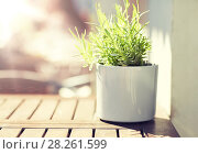 Купить «green plant in flower pot on street cafe table», фото № 28261599, снято 12 мая 2016 г. (c) Syda Productions / Фотобанк Лори