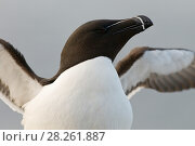 Купить «Razorbill (Alca torda), stretching wings. Langanes peninsula, Iceland. May 2008», фото № 28261887, снято 20 августа 2018 г. (c) Nature Picture Library / Фотобанк Лори