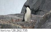 Купить «Adelie Penguin on the rock», видеоролик № 28262735, снято 15 января 2018 г. (c) Vladimir / Фотобанк Лори