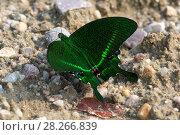 Купить «Бабочка парусник парис (Papilio paris)», фото № 28266839, снято 24 марта 2018 г. (c) Ирина Яровая / Фотобанк Лори