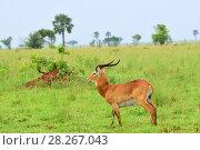 Купить «Antelope reedbuck, Uganda, Africa», фото № 28267043, снято 27 августа 2010 г. (c) Знаменский Олег / Фотобанк Лори