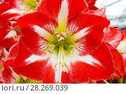 Купить «Europe, Netherlands, Lisse, Keukenhof Gardens, Amaryllis Flower», фото № 28269039, снято 22 октября 2019 г. (c) age Fotostock / Фотобанк Лори