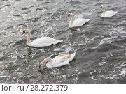 Купить «Лебеди (Cygnus olor) плавают в Черном море зимой у набережной города Евпатории, Крым», фото № 28272379, снято 28 февраля 2018 г. (c) Николай Мухорин / Фотобанк Лори