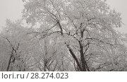 Купить «The deciduous tree is covered with hoarfrost. A strong wind shakes the branches of a tree.», видеоролик № 28274023, снято 23 марта 2018 г. (c) Андрей Радченко / Фотобанк Лори