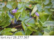 Купить «Cape blue water lilies (Nymphaea capensis)», фото № 28277367, снято 17 марта 2018 г. (c) Некрасов Андрей / Фотобанк Лори