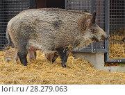 Central European wild boar (Sus scrofa) piglets suckling. Стоковое фото, фотограф Валерия Попова / Фотобанк Лори