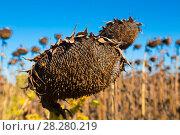 Купить «Picturesque fields of ripe sunflowers», фото № 28280219, снято 14 сентября 2017 г. (c) Яков Филимонов / Фотобанк Лори