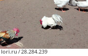 Купить «Петушиный бой», видеоролик № 28284239, снято 8 февраля 2018 г. (c) Кекяляйнен Андрей / Фотобанк Лори