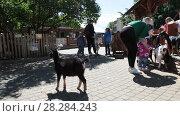 Купить «Контактный зоопарк с козами. Санкт-Петербург», видеоролик № 28284243, снято 8 февраля 2018 г. (c) Кекяляйнен Андрей / Фотобанк Лори