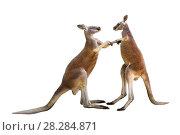 Купить «Два дерущихся красных кенгуру на белом фоне изолировано», фото № 28284871, снято 9 апреля 2018 г. (c) Наталья Волкова / Фотобанк Лори