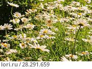 Купить «Ромашки на лугу», эксклюзивное фото № 28291659, снято 13 июня 2011 г. (c) Юрий Морозов / Фотобанк Лори