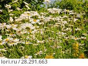 Купить «Ромашки на лугу», эксклюзивное фото № 28291663, снято 13 июня 2011 г. (c) Юрий Морозов / Фотобанк Лори