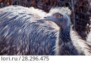 Купить «Эму. Emu.», фото № 28296475, снято 8 апреля 2018 г. (c) Галина Савина / Фотобанк Лори