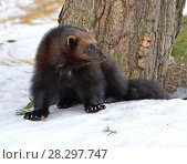 Купить «Росомаха (Gulo gulo) на снегу зимой», фото № 28297747, снято 24 марта 2018 г. (c) Валерия Попова / Фотобанк Лори