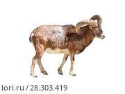 Купить «Европейский муфлон - жвачное парнокопытное животное рода баранов.на белом фоне изолировано», фото № 28303419, снято 9 апреля 2018 г. (c) Наталья Волкова / Фотобанк Лори