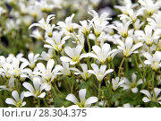 Купить «Chickweed blooms macro in the garden outdoors (Cerastium uralense)», фото № 28304375, снято 9 июня 2013 г. (c) Евгений Ткачёв / Фотобанк Лори