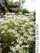 Купить «Chickweed blooms macro in the garden outdoors (Cerastium uralense)», фото № 28304379, снято 9 июня 2013 г. (c) Евгений Ткачёв / Фотобанк Лори