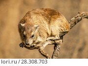 The rock hyrax (Procavia capensis), also called rock badger and Cape hyrax in the Serengeti in Tanzania. Стоковое фото, агентство BE&W Photo / Фотобанк Лори