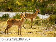 Two Bohor Reedbucks (Redunca redunca) antelope in Ngorongoro National Park, Tanzania. Стоковое фото, агентство BE&W Photo / Фотобанк Лори