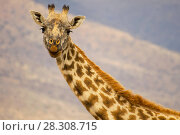 Close-up portrait of giraffe in Serengeti National Park, Tanzania. Стоковое фото, агентство BE&W Photo / Фотобанк Лори