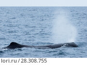 Купить «Sperm Whale Diving near Kaikoura, South Island, New Zealand», фото № 28308755, снято 19 апреля 2019 г. (c) BE&W Photo / Фотобанк Лори