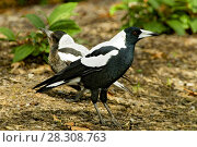 Купить «The Australian magpie (Cracticus tibicen) is a medium-sized black and white passerine bird native to Australia and southern New Guinea. Christchurch, New Zealand.», фото № 28308763, снято 19 марта 2019 г. (c) BE&W Photo / Фотобанк Лори