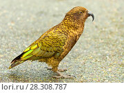 Купить «The kea (Nestor notabilis), a large species of parrot of the family Strigopidae found in forested and alpine regions of the South Island of New Zealand», фото № 28308787, снято 19 апреля 2019 г. (c) BE&W Photo / Фотобанк Лори