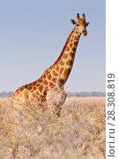 Giraffe walking in the bush on the desert pan in the Etosha National Park, Namibia, Africa. Стоковое фото, агентство BE&W Photo / Фотобанк Лори