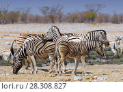 Plains zebras (Equus burchelli) in Etosha National Park, Namibia. Стоковое фото, агентство BE&W Photo / Фотобанк Лори