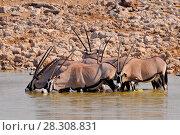 Herd of Gemsboks (Oryx gazella) drinking water at a waterhole in in Etosha National Park, Namibia. Стоковое фото, агентство BE&W Photo / Фотобанк Лори